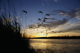 Sandhill Cranes Fly over the Platte River Photographic Print by Michael Forsberg