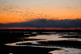A Flock of Sandhill Cranes Migrate at Sunrise Photographic Print by Michael Forsberg