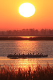 A Flock of Brown Pelicans, Pelecanus Occidentalis, Preening at Sunset Photographic Print by Robbie George