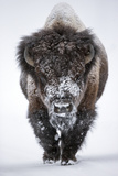 Portrait of an Snow-Dusted American Bison, Bison Bison Stampa fotografica di Robbie George
