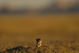 A Black-Footed Ferret at the Mouth of His Underground Den Photographic Print by Michael Forsberg