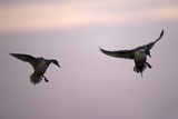 A Male and a Female Northern Pintail Ducks, Anas Acuta, Taking Flight at Sunset Photographic Print by Robbie George