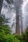 Misty Milky Redwood Tree, California Coast Papier Photo par Vincent James