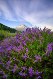 Mount Hood Wildflowers, Central Oregon Photographic Print by Vincent James