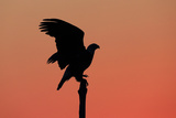 A Silhouetted Bald Eagle, Haliaeetus Leucocephalus, Perching at Twilight Photographic Print by Robbie George