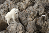 A Mountain Goat, Oreamnos Americanus, in a Rocky Landscape Photographic Print by Robbie George