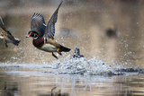 Wood Ducks, Aix Sponsa, Taking Flight from the Water Photographic Print by Robbie George
