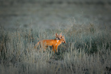 Two Swift Fox Kits Stand in the Sage of the Prairie Photographic Print by Michael Forsberg