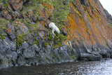 A Polar Bear Descends a Cliff on a Small Island, Where He Hunts Auks Photographic Print by Cory Richards