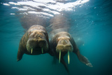 Walruses Approach Swimming in the Arctic Ocean Off Hooker Island Photographic Print by Cory Richards