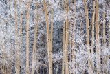 Snow Clings to Aspens in the Sangre De Cristo Mountains Photographic Print by Michael Melford