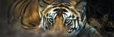 Bengal Tiger (Panthera Tigris Tigris), India Fotografisk tryk af Panoramic Images