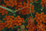Close Up of Butterfly Milkweed Photographic Print by Michael Forsberg