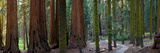 Redwood Trees in a Forest, Sequoia National Park, California, Usa Photographic Print by Panoramic Images