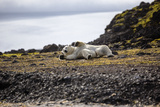A Polar Bear on a Small Island, Where He Hunts Auks Photographic Print by Cory Richards