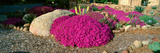 Pink Flowers, Center for Earth Concerns, Ojai, California Photographic Print by Panoramic Images