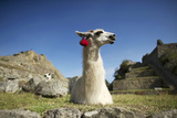 Llamas Decorated with Pompoms Rest in the Pre-Columbian Inca Ruins of Machu Picchu Photographic Print by Jim Richardson