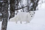 Portrait of an Arctic Fox, Vulpes Lagopus, in the Snow Lámina fotográfica por Sergio Pitamitz
