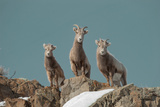 Portrait of Three Young Bighorn Sheep Standing on a Cliff Photographic Print by Tom Murphy