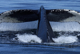 Water Drips from the Tail Flukes of a Humpback Whale as it Dives Impressão fotográfica por Michael Melford