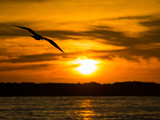 The Silhouette of a Gull at Sunrise Photographic Print by Michael Melford