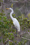 Great White Egret, Casmerodius Albus Photographic Print by Ian Nichols