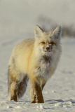 Portrait of a Red Fox with Snow on its Face Photographic Print by Tom Murphy