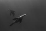 A Sea Lion Swims Off Santa Barbara Island Photographic Print by Cesare Naldi