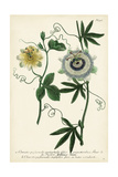 Antique Passion Flower II Print by  Weinmann