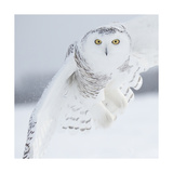 Owl in Flight I Print by  PHBurchett