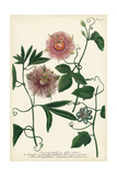 Antique Passion Flower I Prints by  Weinmann