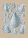 Shell Study IV Giclee Print by A. Poiteau