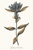 Gentiana Catesbaci - Golden Giclee Print by A. Poiteau