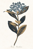 Ixora Banduca - Golden Giclee Print by A. Poiteau