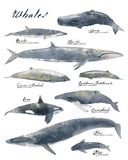 A Collection of Whales Giclee Print by Ken Hurd