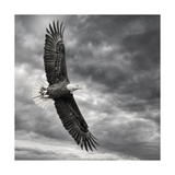 Aigle en plein vol Affiches par  PHBurchett