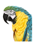Watercolor Parrot Print by Naomi McCavitt
