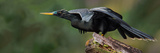 Anhinga (Anhinga Anhinga), Costa Rica Photographic Print by Panoramic Images