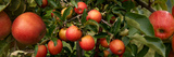 Close-Up of Apples Growing on Tree Photographic Print by Panoramic Images