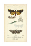 Antique Butterfly Study I Print by  Turpin