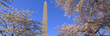 Cherry Blossoms and Washington Monument, Washington Dc Photographic Print by Panoramic Images