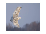 Owl in Flight V Posters by  PHBurchett