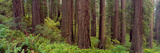 Old-Growth Redwoods at Jedediah Smith Redwood State Park, California Lámina fotográfica por Panoramic Images