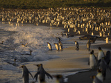 King Penguins, Elephant and Fur Seals, Entering the Surf in Early Morning Sunlight Photographic Print by Jay Dickman