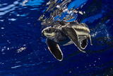 A Juvenile Leatherback Sea Turtle Swimming at the Water's Surface Photographic Print by Jim Abernethy