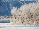 Snowy Trees Populated with Bald Eagles, Haliaeetus Leucocephalus, and Mountains in the Distance Photographic Print by Jak Wonderly