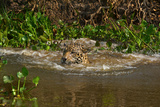 A Wild Jaguar Swims in the Cuiaba River after Jumping in to Catch Prey Photographic Print by Steve Winter