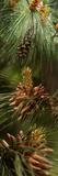Close-Up of Pine Tree Papier Photo par Panoramic Images
