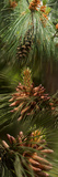 Close-Up of Pine Tree Photographic Print by Panoramic Images