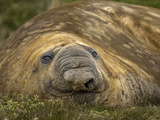 Close Up Portrait of a Southern Elephant Seal, Mirounga Leonina, Resting on Shore Photographic Print by Jay Dickman
